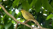 Yellow Honeyeater Perched On Branch