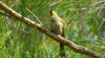 Yellow-Throated Honeyeater Perched