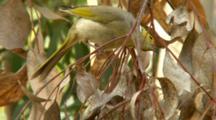 White-Plumed Honeyeater Nest