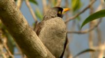 Noisy Miner Perched