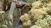 Yellow-Throated Miner Feeds On Eucalyptus Flowers