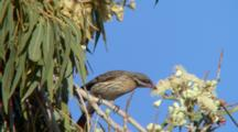 Spiny-Cheeked Honeyeater  Feeds On Eucalyptus Flowers