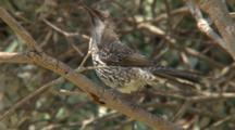 Little Wattlebird Preens And Sings In Tree