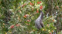 Little Wattlebird Feeds On Bottlebrush Flowers