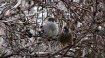 Red Wattlebird Fed By Parents
