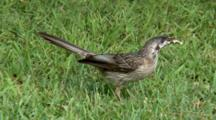 Red Wattlebird Feeds On Grass