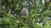 Red Wattlebird Perched In Tree