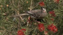 Red Wattlebird Feeds On Bottlebrush Flowers