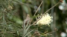 Dusky Honeyeater Feeding On A Grevillea