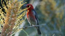 Scarlet Honeyeater Feeding On A Grevillea