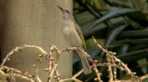 Brown Honeyeater Singing