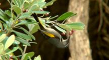 Crescent Honeyeater Feeds On Flowers