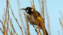 New Holland Honeyeater Perched