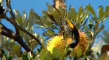 White-Cheeked Honeyeater Feeds