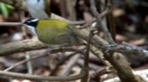 White-Throated Honeyeater Perched