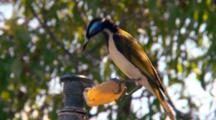 White-Throated Honeyeater  Drinks