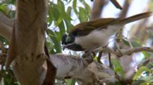 White-Throated Honeyeater Feeds