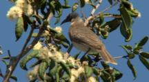Noisy Friarbird Moves Around Tree