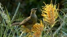 Macleay's Honeyeater Feeding On A Grevillea