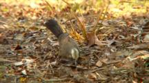 Grey-Crowned Babbler Feeds On Ground