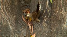 Grey-Crowned Babbler Feeds On Tree Trunk