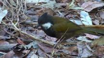 Eastern Whipbird Feeds On Ground, Leaf Litter