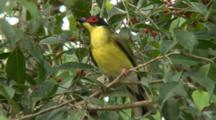 Australasian Figbird Perched, Looks Around