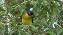 Australasian Figbird Feeds On Figs
