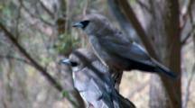 Pair Of Black-Faced Woodswallows Perched
