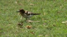 Juvenile Pied Butcherbird Tries To Catch A Grasshopper