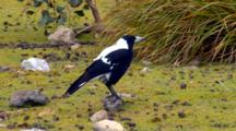Australian Magpie (White Backed) Feeds On Ground