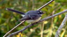 Grey Fantail Displays