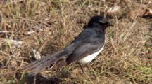 Willie Wagtail Perched On Ground