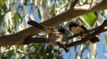 Parents Attend To Willie Wagtail Nest