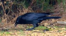Australian Raven Feeds On Ground