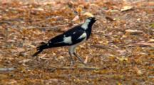 Magpie-Lark Feeds On Ground