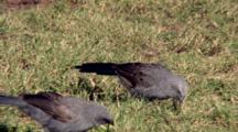 Apostlebird Feed In Grass, Fly Away