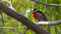 Scarlet Robin Perched On Branch
