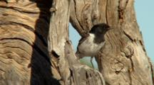 Hooded Robin Perched Near Nest