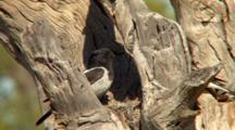 Hooded Robin Arrives At Nest
