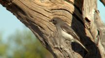 Female Hooded Robin Perched
