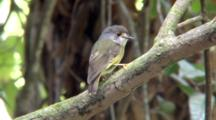Pale-Yellow Robin Perched