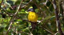 Eastern Yellow Robin Perched