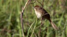 Tawny Grassbird Perched