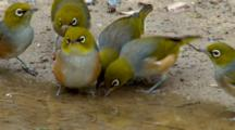 Silvereyes Drink From Puddle