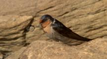 Welcome Swallow Perched