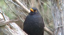 Common Blackbird Perched, Portrait