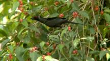 Metallic Starling Feeds On Red Berries Or Flowers
