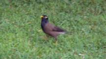 Common Myna Feeds On Grass