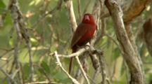 Crimson Finch Perched On Branch